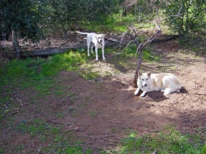 Dogs Syrah, a Husky and Shepherd mix, and Tawny, a Yellow Lab, overseeing the winery tasting veranda.