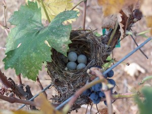 Bird nest, containing 4 light blue eggs, amid the Cabernet Franc vines during harvest.