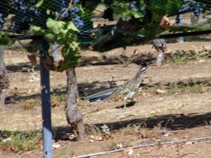 Road Runner scurrying under the vines with grapes, hunting lizards and insects.