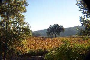 A tree in the fall vineyard colors as viewed from the Just Inn.
