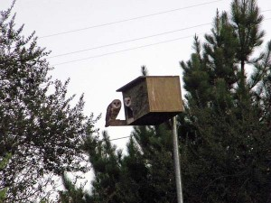 Owl box adjacent to the winery; two owls look like mirror images, one outside looking in from the perch, other inside looking out.
